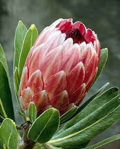 Pink Ice protea - 3 in each BM bouquet? Unusual Flowers, Rare Flowers, Amazing Flowers, Pink Flowers, Beautiful Flowers, Protea Art, Protea Flower, Flower Images, Flower Pictures