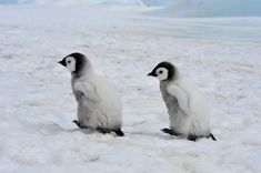 Emperor Penguins with chick Snow Hill in Antarctica Emperor Penguin, Antarctica, Penguins, Animals, Animales, Animaux, Penguin, Animal, Animais