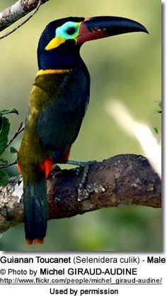 Guianan Toucanet or Guyana Toucanet (Selenidera culik)