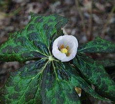 Podophyllum  hexandrum, Hamalayan Mayapple