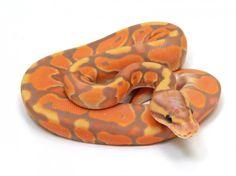 Banana Cinnamon Enchi | Markus Jayne Ball Pythons
