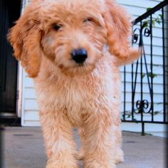 Male Goldendoodle puppy, hypoallergenic and non shedding. 12 weeks old and ready for his new home! $1500.00 call for more info 501-514-1026 www.platinumgoldies.com