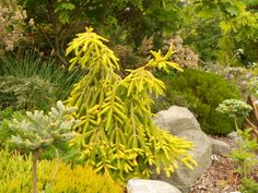Golden Seedlings of Picea Abies 'Gold Drift' X 'Acrocona'