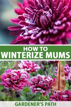 You've enjoyed their vibrant autumn color and now winter is creeping in. But what if you're not ready to say goodbye to your mums? It seems so wasteful to toss them. Our guide will show you how to overwinter your plants so you can enjoy them year after year, from fall prep to spring care. #mums #garden #gardenerspath Garden Mum, Autumn Garden, Garden Tips, Vegetable Garden, Garden Plants, Love The Earth, English Country Gardens, Flowers Perennials, Gardening For Beginners