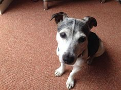 Hi, I've lost my dog in Heacham, Norfolk. He is a Jack Russell, small, black and white with a lot of grey smoth coated. He's 13 years old, his petlog chip number is 981000000295354 he is getting on a bit and has a heart murmur we are desperate to be reunited. If found please contactRead More