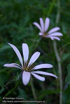 Mutisia lila - San Martin de los Andes