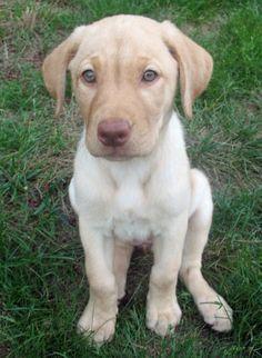 Masey the lab puppy.