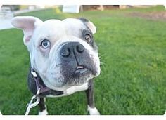 Baltimore, MD - English Bulldog Mix. Meet Betsy in Pittsburgh, a dog for adoption. http://www.adoptapet.com/pet/13007617-baltimore-maryland-english-bulldog-mix