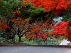 Fire trees in Dhaka, Bangladesh Places Around The World, Around The Worlds, Beautiful World, Beautiful Places, Dhaka Bangladesh, Leaflet Design, Amazing India, Amazing Flowers, Nice Flower