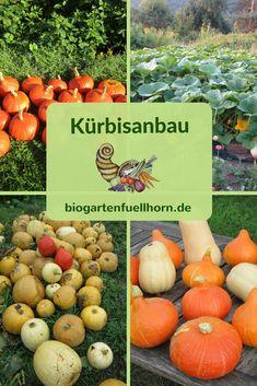 Tipps und Anleitungen zum Anbau von Kürbissen. #kürbis #anbau #garten #selbstversorger