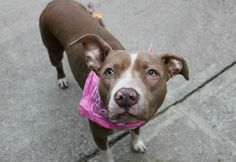 "MINERVA - A1101425 - - Manhattan  TO BE DESTROYED 01/21/17 A volunteer writes: Minerva is the goddess of wisdom. Our Minerva certainly does seem wise beyond her 3 years. From the moment we meet, she is hesitant. She looks out from her kennel, her eyes wide like emerald saucers, and gives me a quick once-over: ""friend or foe?"" Fortunately for me she decides the former, and in no time at all we're off on our walk. I admire her at length as she trots by my si"