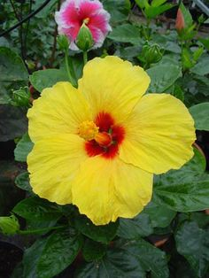 Hibiscus Norma Yellow Hibiscus, Hibiscus Plant, Hibiscus Flowers, Bonsai, Beautiful Rose Flowers, Small Trees, Flower Images, Flower Seeds, Shrubs
