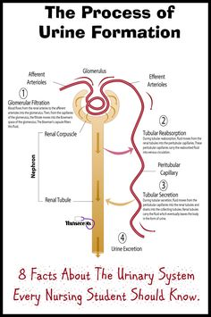 The formation of urine consists of three processes: glomerular filtration, tubular reabsorption, and tubular secretion. Read about this process of the urinary system and 8 additional Facts About the Urinary System Every Nursing Student Should Know. Medical Facts, Medical Science, Medical Information, Nursing School Notes, Nursing Schools, Nursing School Graduation, Graduate School, Nursing Tips, Nursing Process