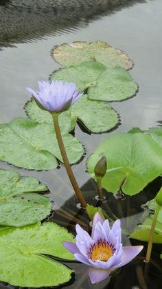 Lotus ponds- Pun Hlaing Country Club, Yangon, Myanmar Lotus Pond, Burma Myanmar, Yangon, Natural Forms, Ponds, Lush, Natural Beauty, Flora, Tropical