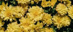 🌷🌺🌼 Χρυσάνθεμο, ένα υπέροχο λουλούδι για το φθινόπωρο. Μαθαίνουμε τα μυστικά για να απολαμβάνουμε εντυπωσιακά χρυσάνθεμα με πολλά λουλούδια και έντονα χρώματα!