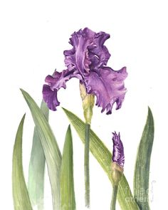Purple Iris Painting - Purple Iris Fine Art Print