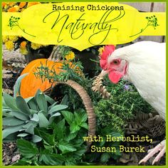 Raising Chickens Naturally: Diatomaceous Earth is No Friend of Nature, by herbalist Susan Burek Best Chicken Coop, Chicken Chick, Canned Chicken, Chicken Coops, Raising Backyard Chickens, Keeping Chickens, Backyard Farming, Chicken Eating, Small Birds