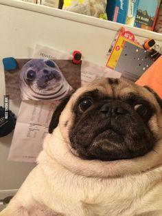 Long Lost Twins: Awkward Seal & Awkward Pug