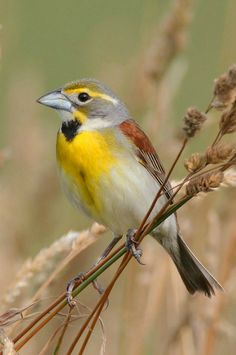 Dickcissel (Spiza americana). A small, migratory New World cardinal. photo: Daniel Behm.