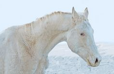 Habib the snow horse
