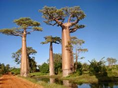 """Baobás - Senegal / Madagascar   Árvore foi amplamente divulgada por meio da obra """"O Pequeno Príncipe"""", do escritor francês Antoine de Saint-Exupery. Seu personagem principal se preocupava com o crescimento excessivo do baobá, temendo que ele tomasse todo o espaço existente em seu asteróide. O baobá é capaz de armazenar até 120 mil litros de água em seu tronco."""