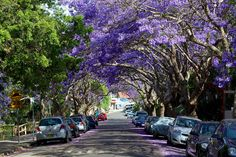 Visit Kirribilli in late October/early November for a great view of the Jacaranda trees blooming here in McDougall Street, Kirribilli, Sydney.