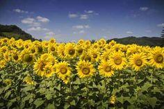Sunflowers, Marquess of Montferrat Wall Decal