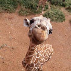 Curious giraffe!