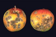 scab: roughened, crustlike diseased area on the surface of a plant organ (apple scab caused by Venturia inaequalis)