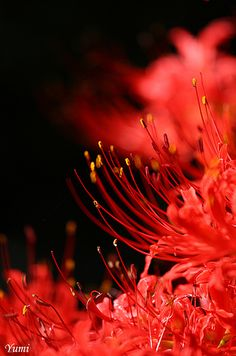red spider lily | * Yumi * | Flickr