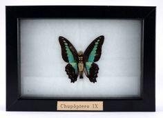 """""""Chupóptero IX"""" Bronce y mariposa real. (10x15cm) Laura Salguero"""