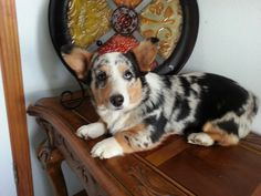This is Gracie, she is a Blue Merle. CKC Registered. Born on Sept 6 2012.