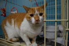 April is a beautiful DSH who is 1 1/2 years old. She was adopted from our shelter at 4 months old and owner surrendered. She is confused and unsure why she is back a the shelter and we would love for her to find her furever home. She is such a good...