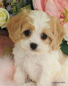 Cavachon - Mix of Cavalier King Charles Spaniel and Bichon Frisé Puppies And Kitties, Cute Puppies, Cute Dogs, Doggies, Teddy Bear Puppies, Puppies Tips, Fluffy Puppies, Cavachon Puppies, Spaniel Puppies