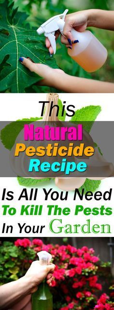 This homemade pesticide recipe is CHEMICAL FREE, all natural and easy to prepare. 5 effective ingredients together and your plants will be free of pests.