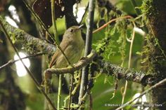 Grey-green Scrubwren (Sericornis arfakianus) Adult perched