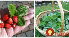 Keby sme vedeli, akú moc majú jahodové listy, natrhali by sme si ich ešte skôr, ako plody: Nepremaškajte to tento rok aj vy! Wicker Baskets, Pesto, Food And Drink, Strawberry, Fruit, Syrup, Strawberry Fruit, Strawberries, Woven Baskets