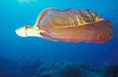 ムラサキダコ 学名:Tremoctopus violaceus 英名:Blanket Octopus