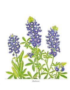 Texas Wild Flower Print Set Bluebonnet Indian Paintbrush Wildflower Botanical Ephemera