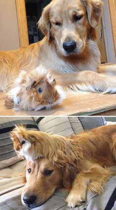 DOG and GUINEA PIG are best friends