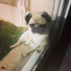 Some people have birds on their windowsill. This person has a pug.