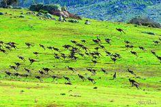A Mob of Kangaroos on the Move by Steve Parish #Kangaroos #Steve_Parrish