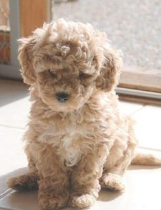 I Love all Dog Breeds: Top 5 Dog breeds that don't Shed We have some availability in miniature Australian Labradoodle Puppies out of our litter with Oreo and Red Ryder. The puppies are almost 7 weeks old- these puppies are absolutely daring, with excell… Animals And Pets, Baby Animals, Cute Animals, Animals Images, Miniature Australian Labradoodle, Miniature Puppies, Miniature Dog Breeds, Cute Puppies, Dogs And Puppies