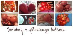 Pomidory, które wyrosły na balkonie. http://zapuszczamkorzenie.blogspot.com/