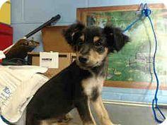 San Bernardino, CA - Chihuahua Mix. Meet URGENT ON 5/20  San Bernardino, a puppy for adoption. http://www.adoptapet.com/pet/15533234-san-bernardino-california-chihuahua-mix