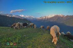 sheep on the top of Ranghthar trek Himalayan, World Heritage Sites, Trekking, Sheep, National Parks, Top, Animals, Spinning Top, Animais