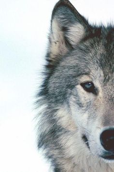 AHHHHHHH another one with blue eyes! I'm getting sort of sick of this. wolves do NOT have blue eyes!