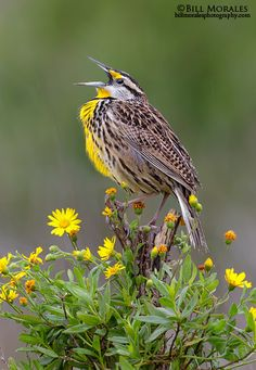 The Eastern Meadowlark (Sturnella magna) is a medium-sized icterid bird, very similar in appearance to the western meadowlark. It occurs from eastern North America to South America.