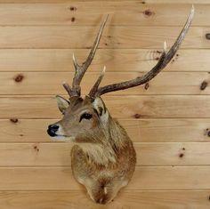 Sambar Rusa Deer Taxidermy Mount #SW2905 - Safariworks Taxidermy Sales