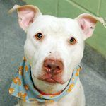 Manhattan Center\r\n\r\nMy name is TOMTOM. My Animal ID # is A1097304.\r\nI am a male white and tan pit bull mix. The shelter thinks I am about 6 YEARS old.\r\n\r\nI came in the shelter as a STRAY on 11\/19\/2016 from NY 11216, owner surrender reason stated was STRAY.\r\n\r\nMOST RECENT MEDICAL INFORMATION AND WEIGHT\r\n11\/29\/2016 Exam Type RE EXAM Medical Rating is 3 C MAJOR CONDITIONS , Behavior Rating is NONE, LBS.\r\n\r\n11\/19\/2016 PET PROFILE MEMO\r\n...